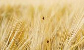 Two Ladybugs On Wheat Field