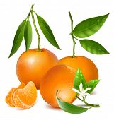 Fresh tangerine fruits with green leaves, blossom and slices. Photo-realistic vector illustration.
