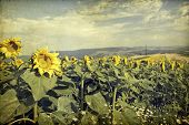 Vintage photo of blooming sunflower field