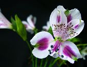 Close-up  A Bouquet  Alstroemeria Flower