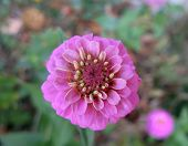 Zinnia Flower In The Garden