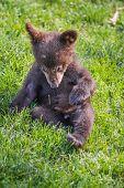 Cute Black Bear Cub