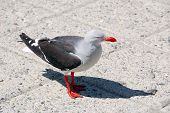 The Heermann's gull