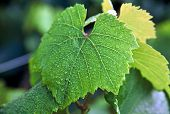 Grape Leaf with Dew
