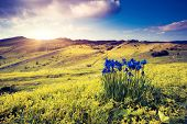 Magic flowers in mountain landscape with dramatic overcast sky. Carpathian, Ukraine, Europe. Beauty