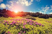 Magic pink rhododendron flowers. Dramatic scenery. Carpathian, Ukraine, Europe. Beauty world. Retro
