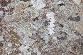 Lichen On Stone Background