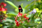 Small postman butterfly perched on flower