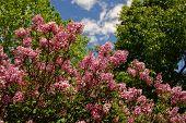 Pink Lilac Bush