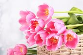 Beautiful pink tulips in basket, close up