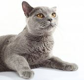 British Blue Cat