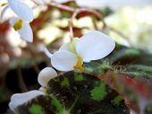 stock photo of begonias  - This is blossoming of begonia  - JPG