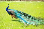 foto of peahen  - a beautiful peacock standing on grass looking at the camera - JPG