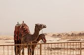 Camel And Mule Or Horse For Tourists By Pyramids