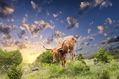 image of texas-longhorn  - Female Longhorn cow grazing in a Texas pasture at sunrise - JPG