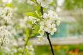 Apple Tree Branch With White Flowers Drops Of Rain