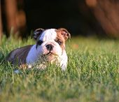 english bulldog puppy laying down eating the grass