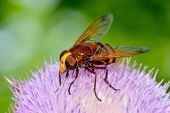 stock photo of hornets  - Hornet mimic hoverfly  - JPG