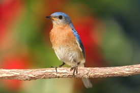 picture of bluebird  - Eastern Bluebird  - JPG