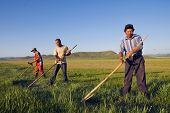 Three Mongolian farmers working hard.