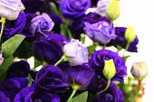 Purple roses and buds