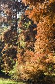Постер, плакат: Taxodium Distichum Bald Cypress
