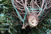 Cut End of Christmas Tree