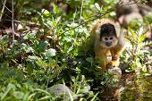 Cute Young Squirrelmonkey