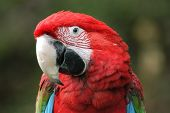 pic of green-winged macaw  - Green - JPG