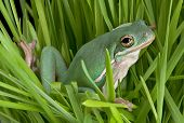 Green Tree Frog In Grasses