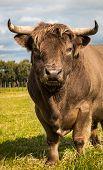 Brown Highland Bull