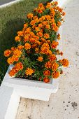 Flowerbed With Orange Marigold Flowers In Garden