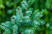 Green spruce branches