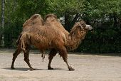 picture of camel-cart  - Bactrian two - JPG