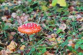 Beautiful Bright Red Amanita Among Autumn Dry Leaves In Forest