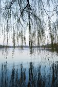 Weeping Willow On The Coast Of West Lake In Hangzhou