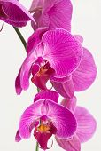 Purple And White Moth Orchids
