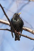 Portrait Of Starling