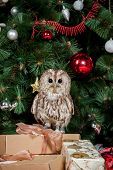 Tawny or Brown Owl, Strix aluco,