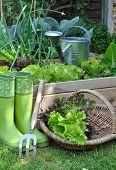 Basket Salad In Garden