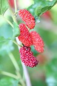 Red Mulberry On Tree.
