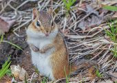 pic of chipmunks  - A small Chipmunk perched on the ground - JPG