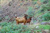 Stray goats