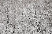 Snowbound Oak And Birch Woods In Winter