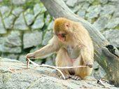 Lonely Monkey Eats Piece Of Bark