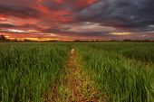 stock photo of dick  - Wheat field in the middle of a summer sunset  - JPG