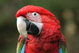 image of green-winged macaw  - Green - JPG