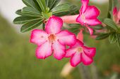picture of desert-rose  - the beautiful Desert rose - JPG