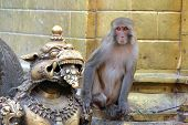picture of monkeys  - Monkey at the Monkey temple - JPG