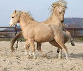 picture of pony  - Two amazing palomino stallions playing together in autumn welsh mountain pony and welsh pony of cob type - JPG